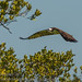Everglades Osprey in flight by robert whitaker photos'