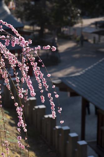 境内見下ろす梅の樹