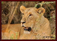 FEMALE LIONESS (Panthera leo)......NAIROBI NAT.PARK......OCT 2013