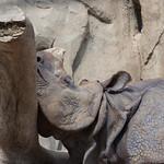 Rhinoceros San Diego Zoo