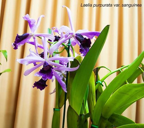 Laelia purpurata