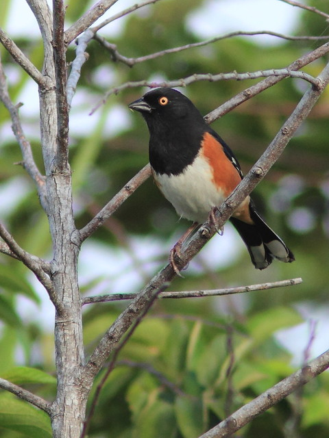 Eastern red-eyed Towhee male 2-20120222