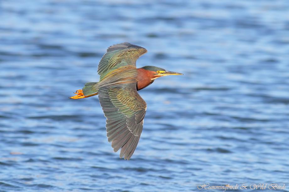 Green Heron 022412-12