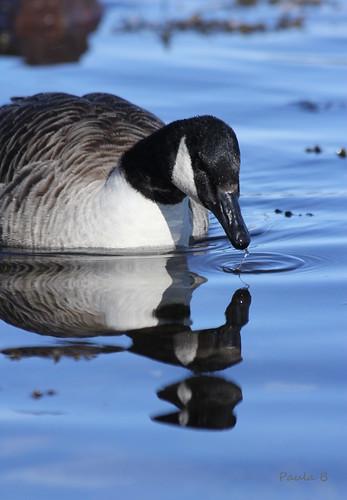 nature newfoundland ngc goose canadagoose nationalgeographic clarenville nearbynature thewonderfulworldofbirds