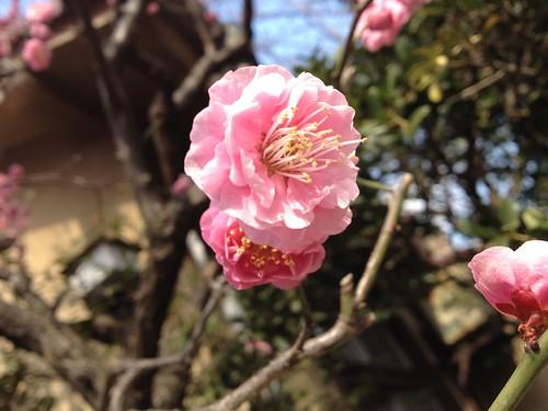 梅の花アップその1