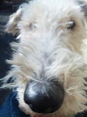 dog breed, animal, dog, schnoodle, pumi, pet, glen of imaal terrier, irish wolfhound, wire hair fox terrier, irish soft-coated wheaten terrier, carnivoran, scottish terrier, terrier,