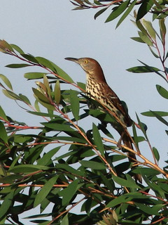 Brown Thrasher 20120310