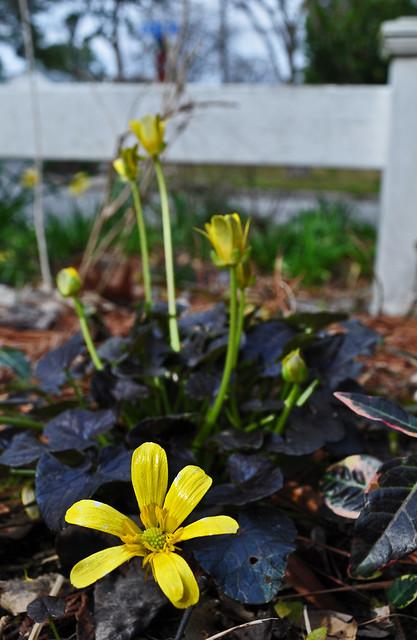 Ranunculus x 'Brazen Hussy'  (2)