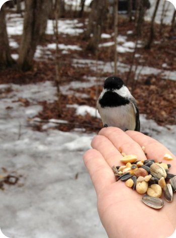 Chickadee at Jack Pine Trail, Ottawa