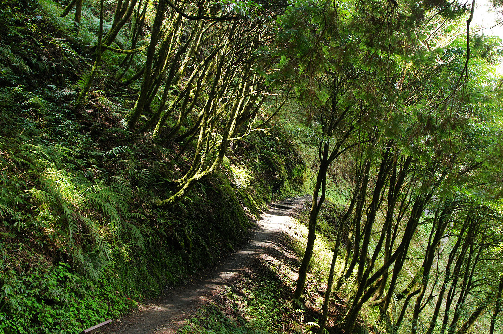 觀霧巨木步道-019