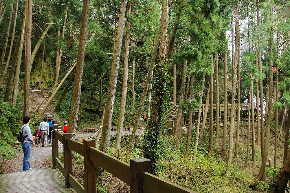 觀霧巨木步道-048