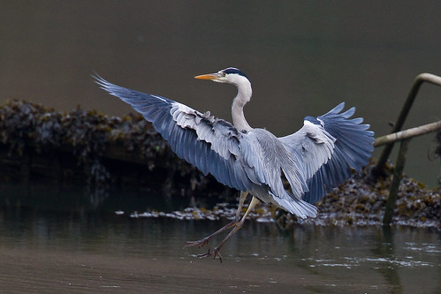 HERON COMING IN TO LAND
