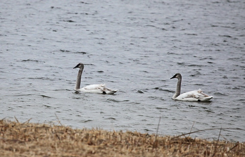 Trumpeter Swan - Juveniles by JKissnHug
