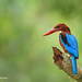 White-throated Kingfisher by eddylynx