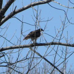 red-tailed hawk in winter