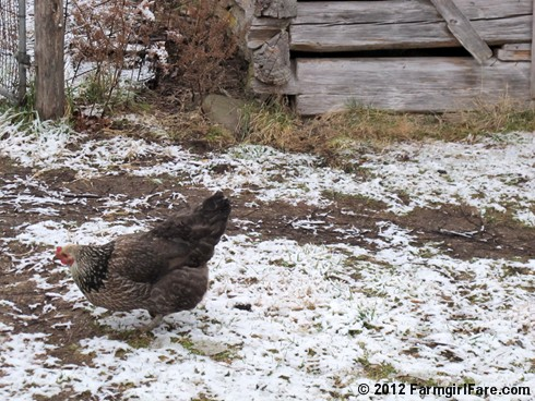 Chickens on snow 8 - FarmgirlFare.com