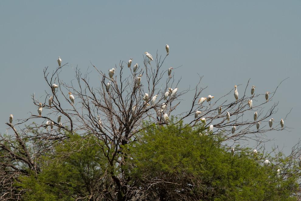 Varios ejemplares de Garcita bueyera (Bubulcus ibis) fueron a parar al árbol más cercano ante nuestra presencia, después de estar alimentándose sobre los lomos del ganado vacuno que pastaba en una de las estancias. (Tetsu Espósito)
