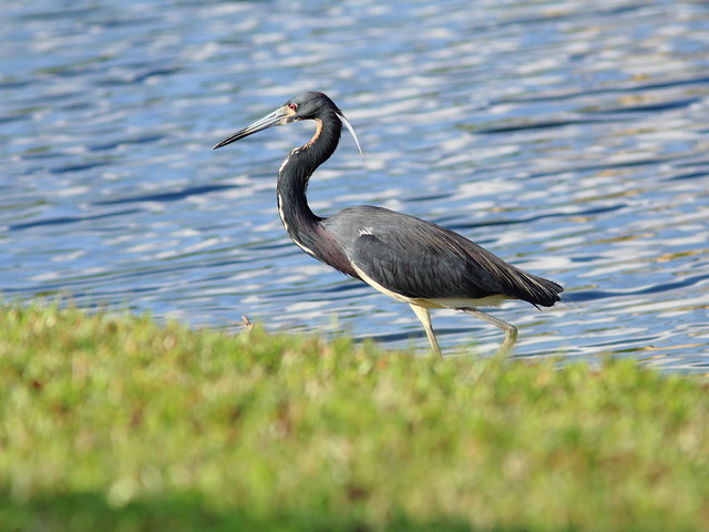 Tricolored Heron in back yard 4-20120401