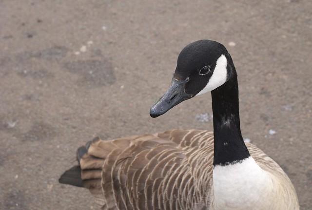 Canada Goose DSC_3487