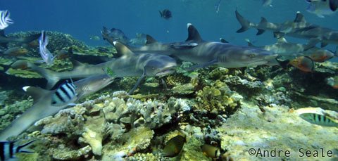 SharkDiveFiji8