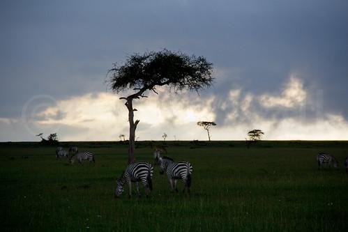africa trees sunset tree nature animal animals landscape mammal kenya wildlife zebra bigsky zebras masaimara riftvalley eastafrica plainszebra wildlifephotography commonzebra equusquagga africanlandscape boehmszebra robsall