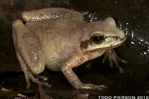 Pseudacris brachyphona: Mountain Chorus Frog