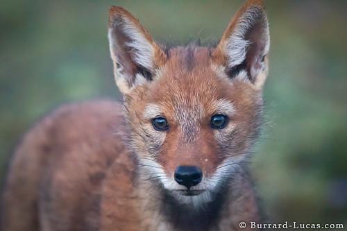 Inquisitive Wolf Pup by Burrard-Lucas Wildlife Photography