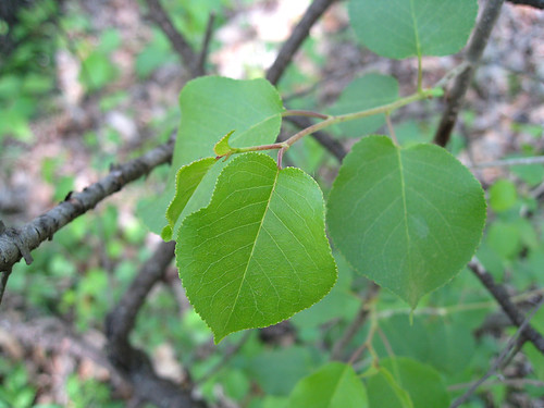 serviceberry leaves?