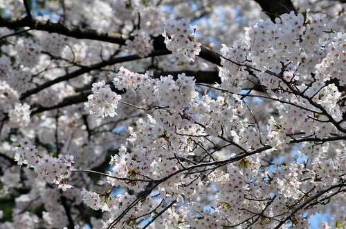 入学式 桜 撮影