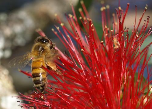 Bee likes Bottlebrush with pollen