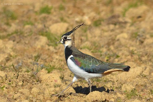 Abibe / Northern Lapwing / (Vanellus vanellus)  by Sérgio Guerreiro