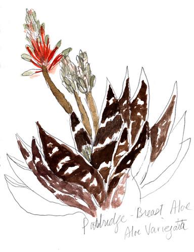 sketch Aloe Variegata