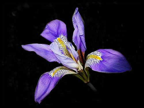 Cold weather iris by T.takako