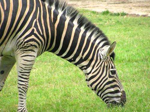 """Zebra Damara"" en Zoológico de Río de Janeiro by Miradas Compartidas"