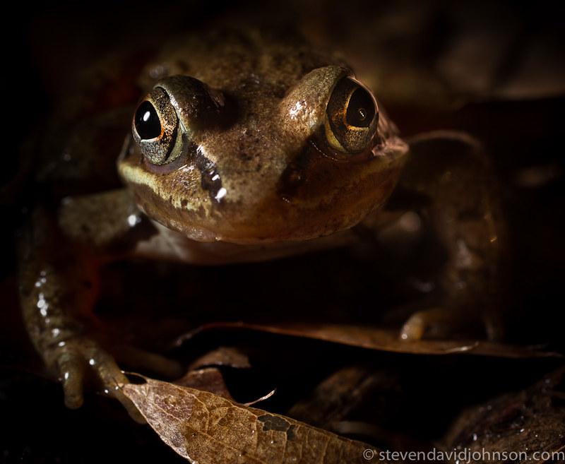 Wood frog, Elizabeth Furnace, Virginia