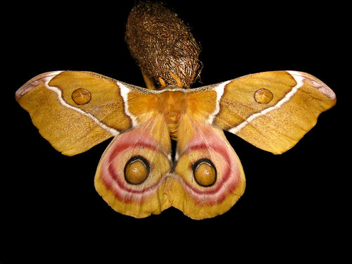 Antherina suraka (Female)