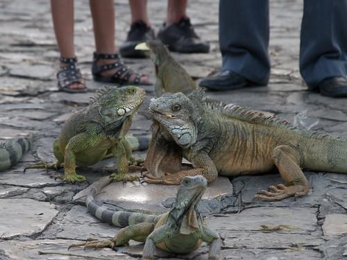 Iguanas 23
