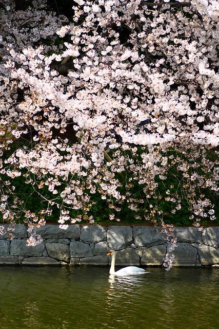 The swan under the Sakura