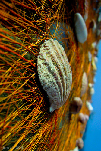 Shell on Straw by {israelv}