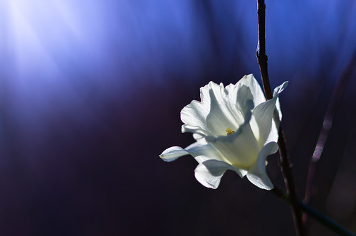 [フリー画像素材] 花・植物, スイセン ID:201203150400