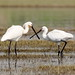 SpoonBills Pair.. by K. Shreesh