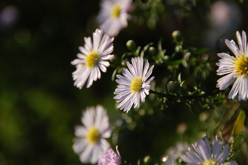 Aster after the rain
