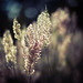 Some kind of grass. by aperitive