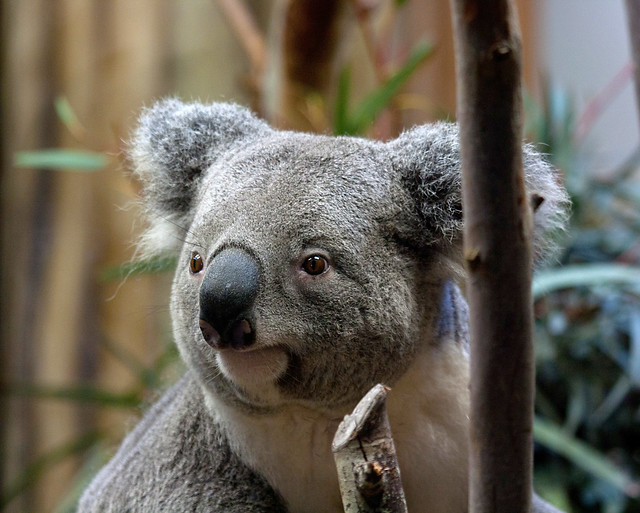 Koala Bear Dog Toy