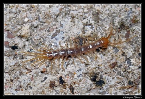 Lithobiidae