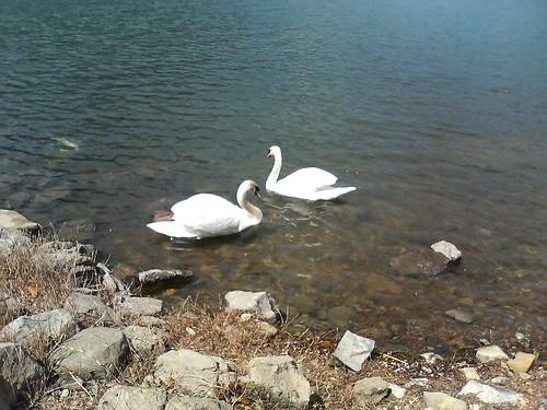 Swan in Misaka natural forest, Shimonoseki