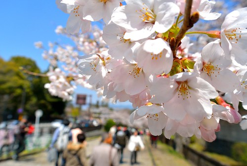 People admire the cherry blossoms #1(Kyoto)