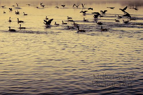 黎明时分的鹅