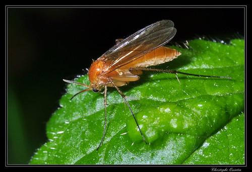 Palaeodocosia flava
