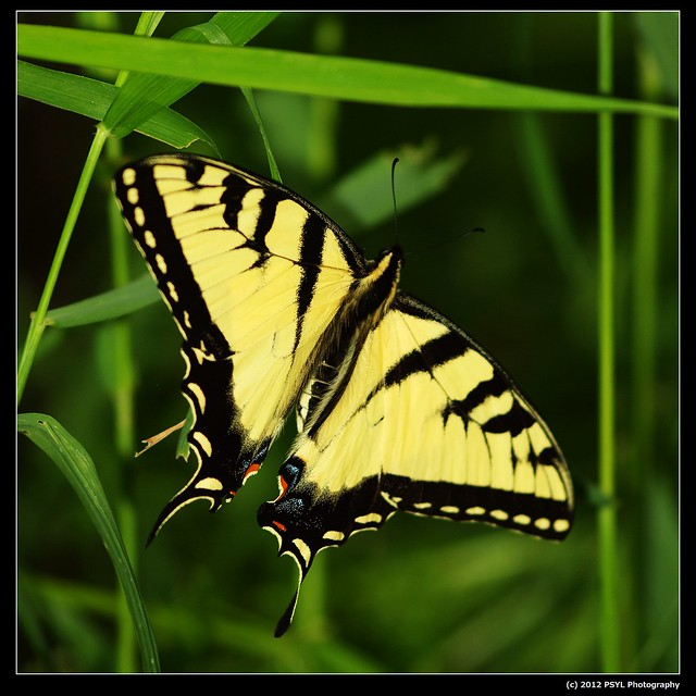 Eastern Tiger Swallowtail (Papilo glaucus)